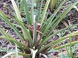 Un plan d'ananas