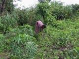 Les arachides sont les petits plants. Les grands plants sont du manioc.