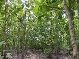 Forêt de tecks